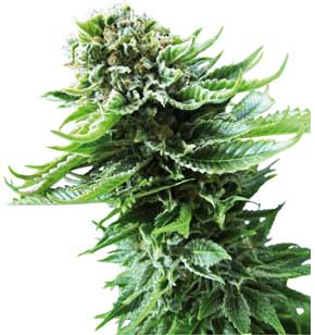 Northern Lights Haze Fem.